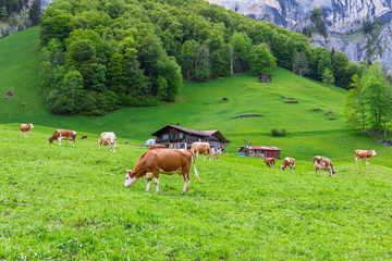 Summer landscape with cow grazing on fresh green mountain pastures. Lauterbrunnen, Switzerland, Europe.