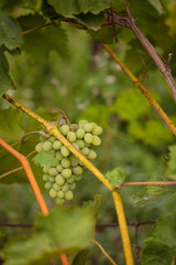 Bunch of grapes. Vineyard