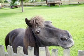 Grinsendes Pferd