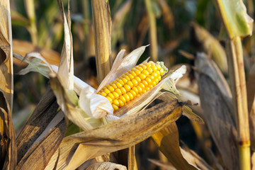 ripe corn, autumn