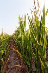 Green immature corn