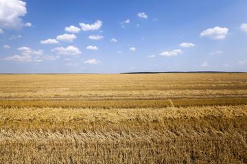 agriculture cereals. summer