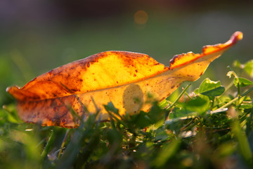 Autumn background with dry leaf on the grass.
