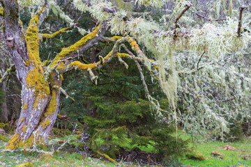 Tree moss on branches