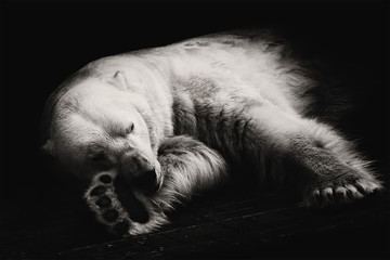 Polar bear/Polar bear sleeps at the zoo in Novosibirsk, Russia