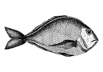 Vector illustration of a brem. Drawn in ink hand drawing. Engraved style illustration