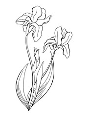 Iris flower graphic art black white isolated illustration vector
