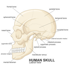 Human skull lateral view with explanation