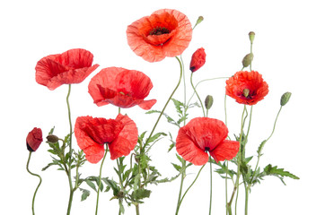 Obraz red poppies  isolated on white background - fototapety do salonu
