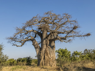 baobab tree in Kruger park, South Africa