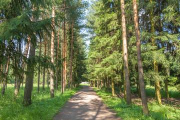 Path through the pine forest, Catherine Park, Tsarskoye Selo, Pushkin