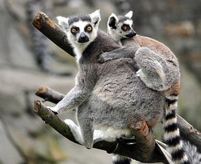Detailed view of the animal - Lemur