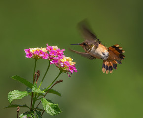 Scintillant hummingbird (female) hovering over lantana flowers. Photo taken at a garden in Boquete.