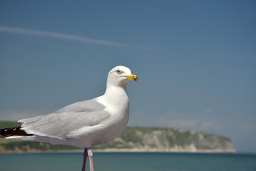 Seagull and view of Swanage Bay, Dorset