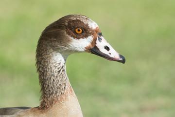 Portrait of an Egyptian goose (Alopochen aegyptiacus)
