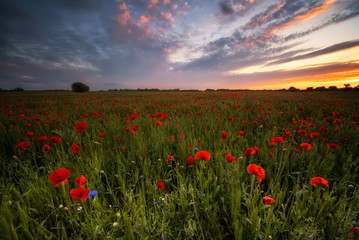 Amazing view of a spring poppy field at sunrise