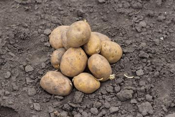 organic potatoes in the field