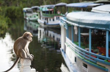 A monkey contemplates the tourist boats on the sekonyer river, B