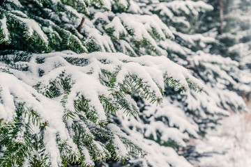 Snow on pine branches in the forest