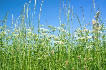 Cow parsley flowers in rural surroundings
