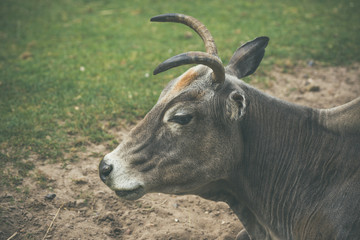 Bull with horns on a field