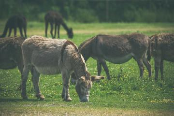 Donkeys grazing on a green meadow