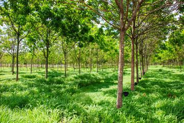 rubber plantation tree