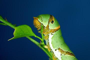 Beautiful green caterpillar creeps on a green grass