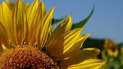 Sun and sunflower. Blooming sunflower heads in cultivated crop field