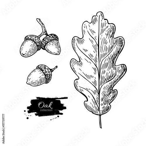 """vector oak leaf and acorn drawing set autumn elements"