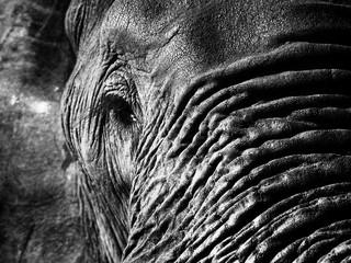 Wall Mural - Monochrome elephant closeup. Loxodonta africana