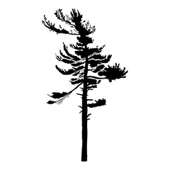Pine tree isolated on white background, silhouette woods and fir tree for your design, isolated.