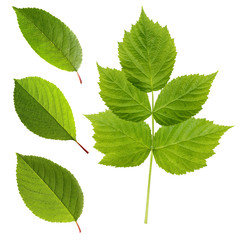 Green leaves of cherry and raspberry isolated on a white backgro