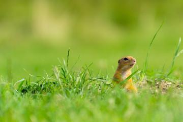 European Ground Squirrel Standing on Field