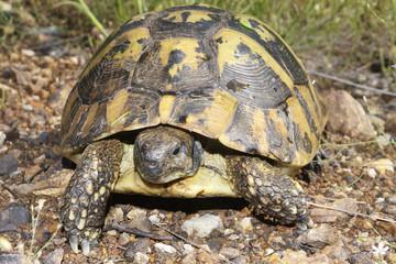 Hermann's tortoise, Testudo hermanni