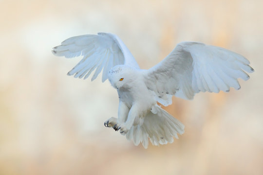 Beautiful fly of snowy owl. Snowy owl, Nyctea scandiaca, rare bird flying on the sky. Winter action scene with open wings, Finland. White owl in fly, landing.