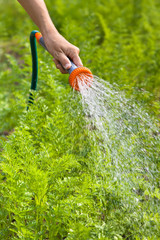 hand watering carrot