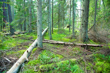 Deep forest and fallen trees