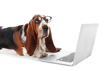 Basset hound dog in glasses with laptop on white background