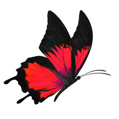 black and red butterfy