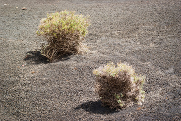 Thorn bushes in desert landscape. Lanzarote. Canary Islands. Spain