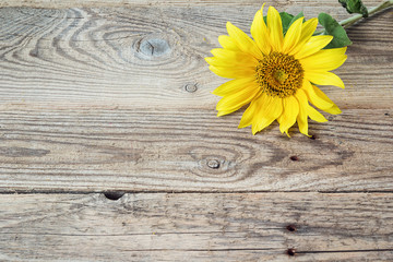 Background with sunflower on old wooden boards. Space for text.