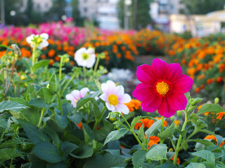 red dahlia single-flower on flower bed in a city with buildings in the background in sunset