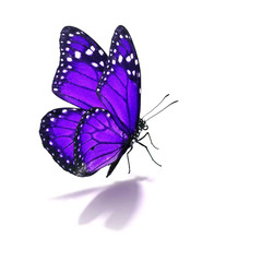 purple monarch butterfly