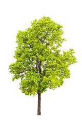 autumn green tree isolated on white background