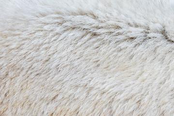 Close-up of a polarbear
