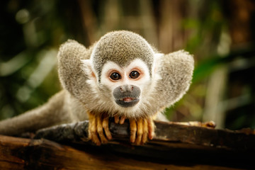 Squirrel monkey in ecuadorian jungle