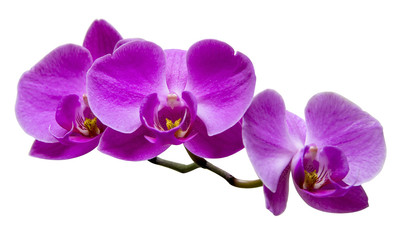 Purple orchid on white