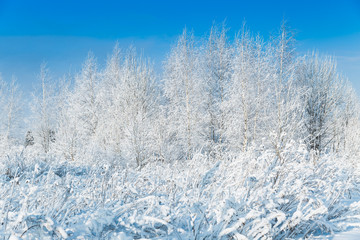 The snowy forest in January