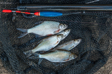 Several bleak and bream fish on fishing net. Fishing rod with fl